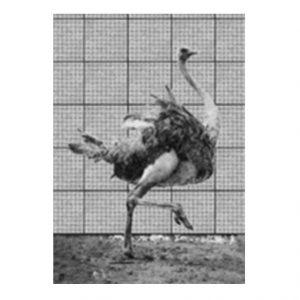 muyenbridge-struisvogel-3d-kaart
